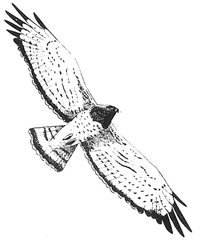 Coloriage rapace circa te jean le blanc - Dessin oiseau en vol ...