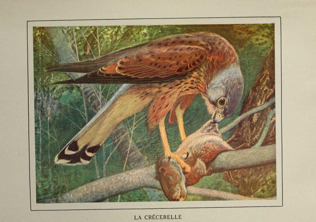 Oiseaux echassiers de france gravures oiseaux de france for Oiseaux de france