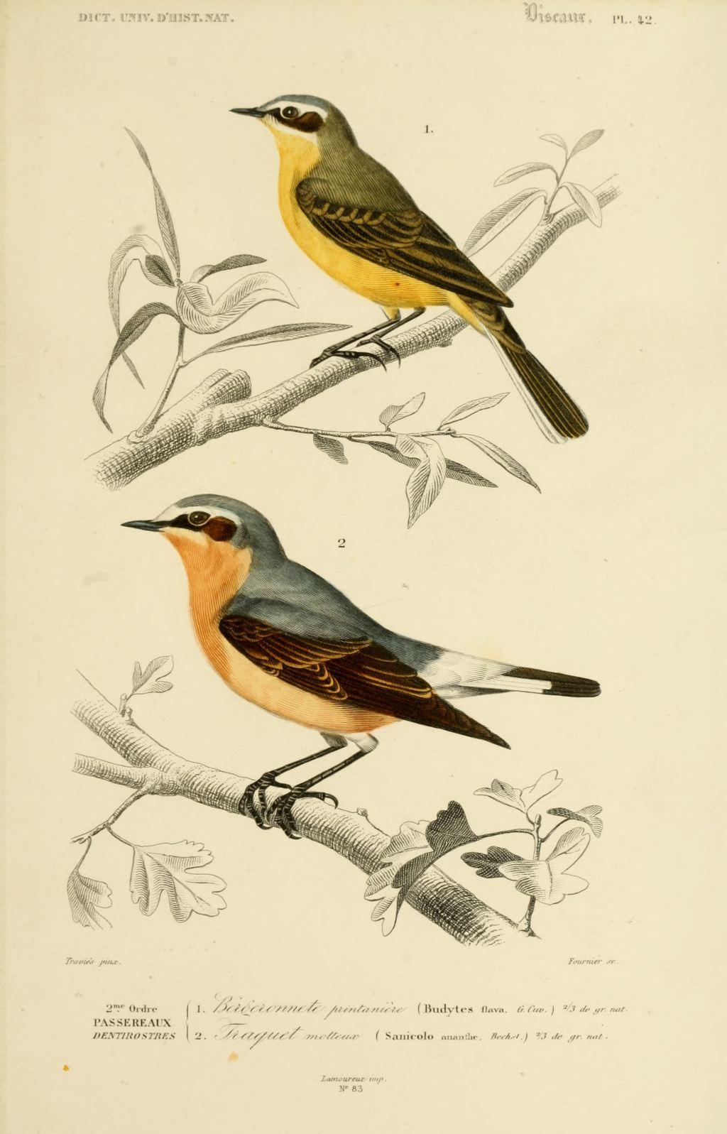 gravures couleur d 39 oiseaux gravure oiseau 0195 bergeronnete printaniere budytes flava. Black Bedroom Furniture Sets. Home Design Ideas